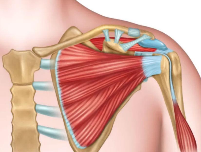 плечевой сустав схема